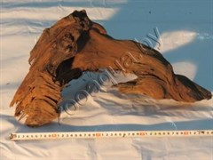 Корень мангрового дерева 35-55 см