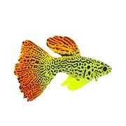 GL-268322 GLOXY Рыба гуппи на леске, 8х2,5х4,5см Флуорисцентная аквариумная декорация