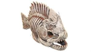 Скелет рыбы №903