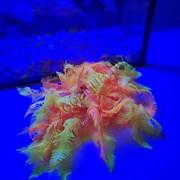 Коралл силиконовый желто-красный 4.5х4.5х12см (SH131MRY)