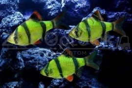 Барбус Сумантранский зеленый Glofish
