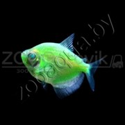 Тернеция зеленая Glofish