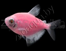 Тернеция розовая Glofish