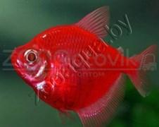 Тернеция бордовая Glofish