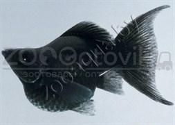 Моллинезия баллон черная