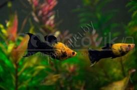 Моллинезия лирахвостая черно-желтая