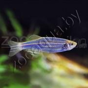 Данио голубой GloFish