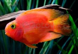 Попугай красный 8-9 см.