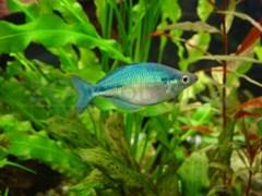 Радужница Озерная синяя 3,5-4,0 см